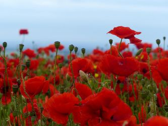 Poppies.. by TheSubmachine