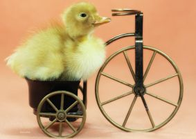 The Duckling Cyclist by Innocentium