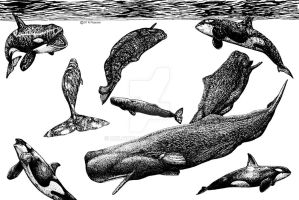 Orcas Attacking Sperm Whales by dolfinguy