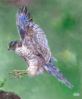 Sparrowhawk by Char10tte