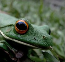 White Lipped Tree Frog (Portrait I) by Human-Opus