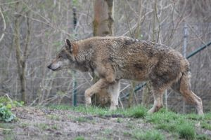 Wolf Stock 03 by Malleni-Stock