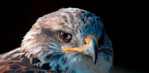 Eagle Eye by telialus