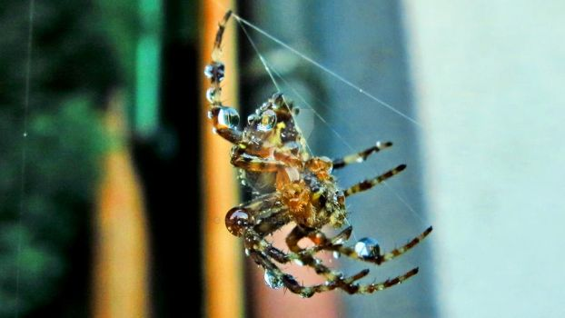 2012-09-06 waterdrop spider by Asmodiel