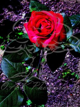 A Single Red Rose by cnb22494