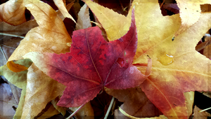 Deep Red Autumn Leaf by JenniBeeMine