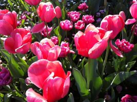 Lovely Tulips by tofu-survivor