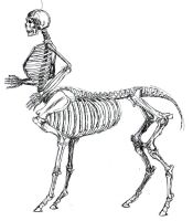 Skeletal Centaur Anatomy study by tursiart