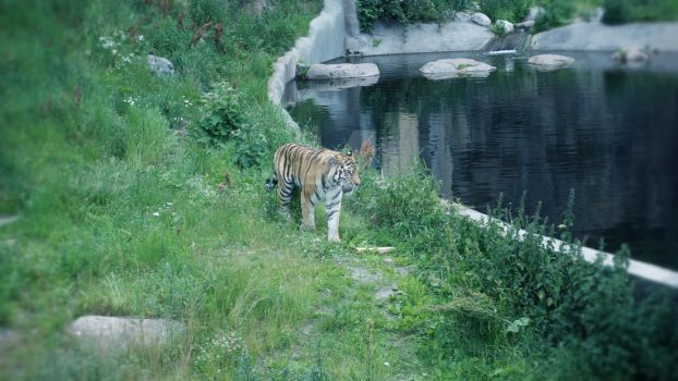 Tiger By The Water (2) by EmmyLundholm
