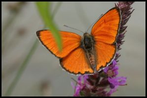 Lycaena Dispar by KajiyaEol