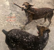 German Shorthaired Pointer mother and son by Feelin3
