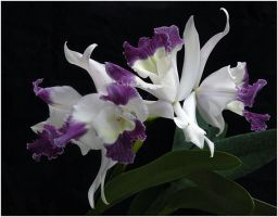 WHITE AND PURPLE ORCHIDS by THOM-B-FOTO