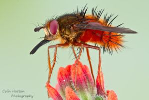 Tachinid fly by ColinHuttonPhoto