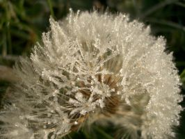 Frosted Dandelion by slobo777-stock