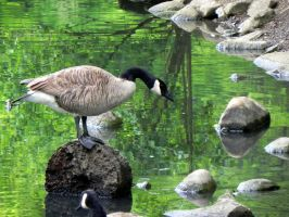 Goose King by dmguthery