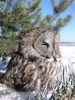 a Great Gray Owl by Nipntuck3
