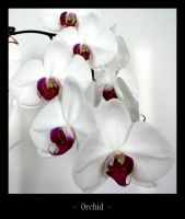 orchid by melxxx