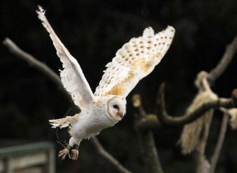 Barn Owl Flight by Shadow-and-Flame-86