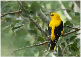 Golden oriole by nakitez