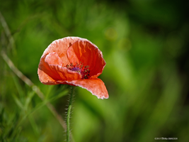 Inside the red poppy by Mogrianne