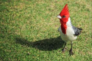 Cardinal on Grass by seraphinx