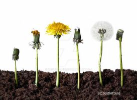 Life cycle of a Dandelion by zestkitten