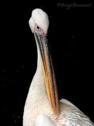 Eastern White Pelican - Pelecanus onocrotalus by ArigjePhotography