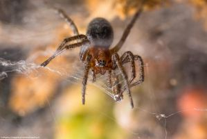 Agelena labyrinthica by FemtoGraphy