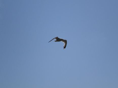 Seagull In Flight [STOCK] by AzrielMordecai