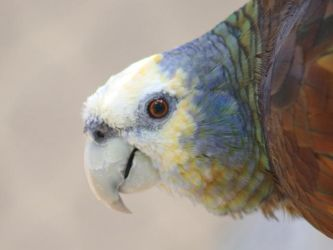 St Vincent Amazon by Sericulus