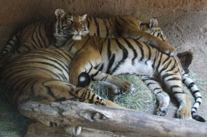 Pile of Tigers 1 by dtf-stock