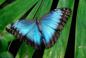 Blue butterfly by archistock