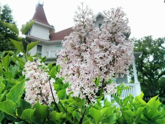 Blooming Flower In Front Of Victorian Home by ShaunAnarchy