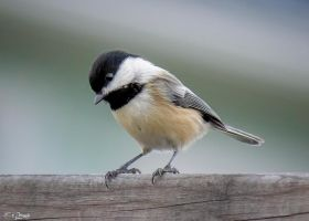 Black-Capped Chickadee 3 by Nini1965