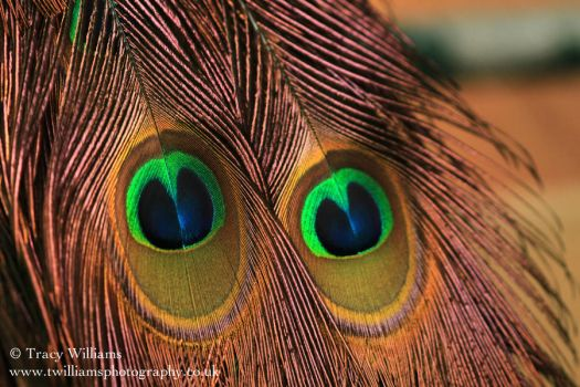 Peacock Feathers by twilliamsphotography