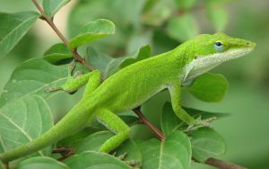 anole by onemo