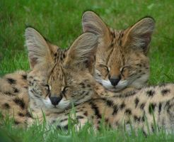 Sleepy servals by Henrieke