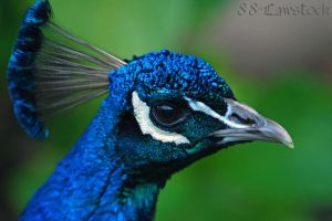 Peacock Head 001 by 88-Lawstock