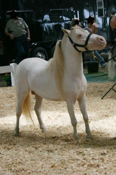 White Mini Horse Stock by GloomWriter