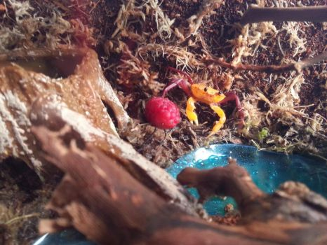 My Madagascan Land Crab by CuriousCreatures