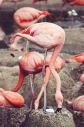 Flamingo protecting his egg by Kluschi