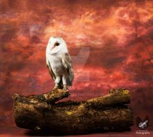Plop the Barn Owl by Takarti