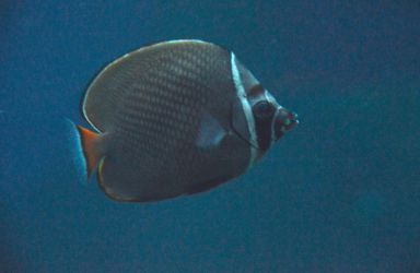 Red-tailed Butterflyfish Stock by DrWheelieMobile