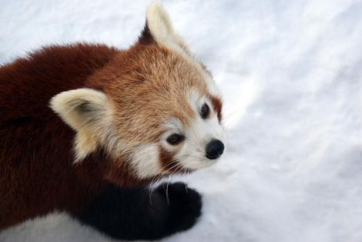 Red Panda 1 by Vertor