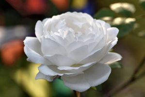Another white rose by OfTheDunes