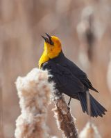 Yellow-Headed Blackbird-Songs of Spring by JestePhotography
