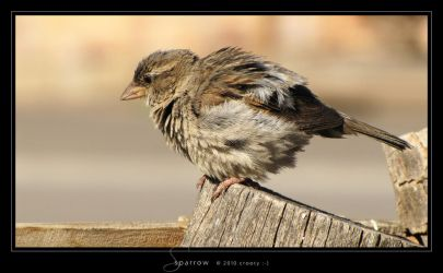 Sparrow by Crooty