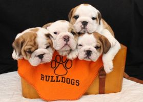 Bag of Bulldogs by Lambieb123