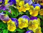 Blue and Yellow Pansies by jim88bro