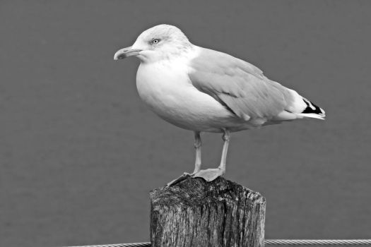 Seagull by UdoChristmann